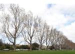 Logan Park Drive - Ontario poplars [odt.co.nz] 2