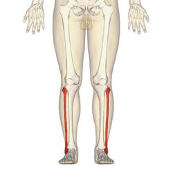 Fibula - anterior view [Wikipedia.org]
