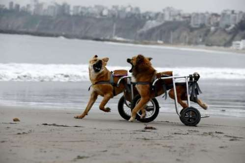Paraplegic dogs in wheelchairs (Pelusa and Huellas), play at Pescadores beach in Chorrillos, Lima, Sep 2015 [Reuters Mariana Bazo]