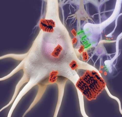 β-amyloid oligomers (red) and receptor LilrB2 or PirB (green) in neuronal synapses of Alzheimer's brains. [medicalxpress.com]