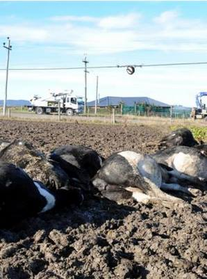 dead-cows-via-richard-healey-at-facebook-odt-files