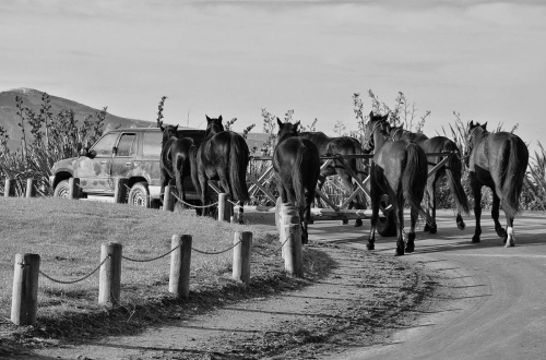 horses-at-otago-beach-2014-shellie-evans-tikitouringnz-blogspot-co-nz-bw1